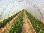 Pflanzenschutzmittel Heidelberg, Pfisterer Erdbeeren Tunnel, Erdbeerproduktion Schutz