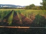 Anbau Grünspargel, Landwirtschaft Produktion, Pfisterer Spargel