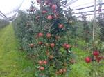 Produktion Apfelbaum, Apfelhandel Heidelberg, Apfelproduktion Pfisterer