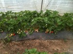 Erdbeeren Pfisterer, Verkauf Erdbeerhandel, Folientunnel Erdbeere