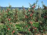 Pfisterer Apfelproduktion, Apfelverkauf Heidelberg Kirchheim, Freiland Apfel