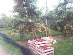 Süßkirschbaum Heidelberg, Süßkirsche kaufen, Pfisterer Obstbau